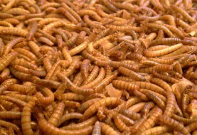 Maggots Better Than Antibiotic in Treating Foot Ulcers