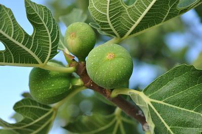 figs testes