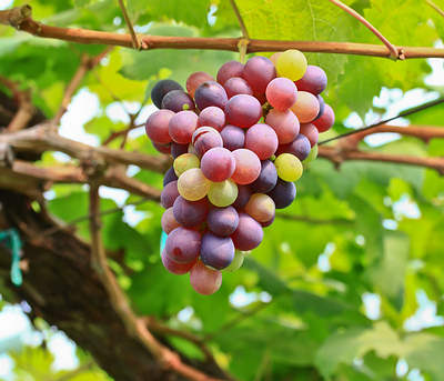 grapes heart