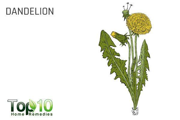 dandelion for water retention
