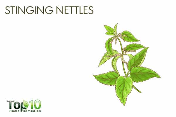 Stinging nettles for detoxification
