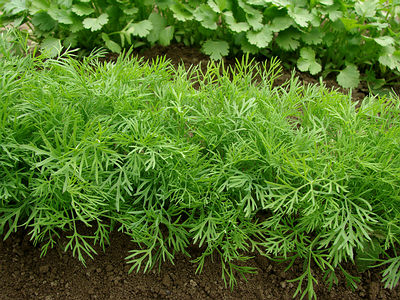 http://www.top10homeremedies.com/wp-content/uploads/2014/11/dill-growing-opt.jpg