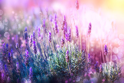 http://www.top10homeremedies.com/wp-content/uploads/2014/11/lavender-herb-garden-opt.jpg