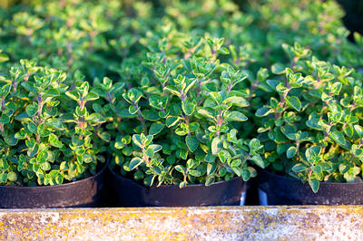 http://www.top10homeremedies.com/wp-content/uploads/2014/11/oregano-growing-opt.jpg