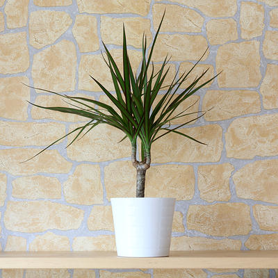 red-edged dracaena plant
