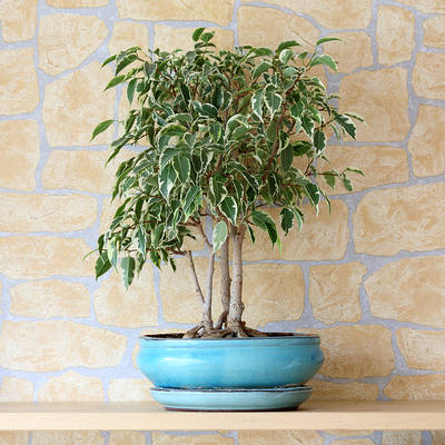 weeping fig plant