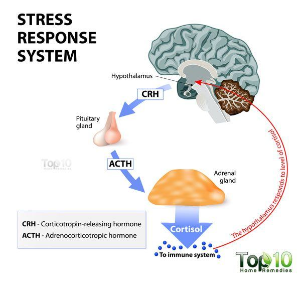 cortisol response system