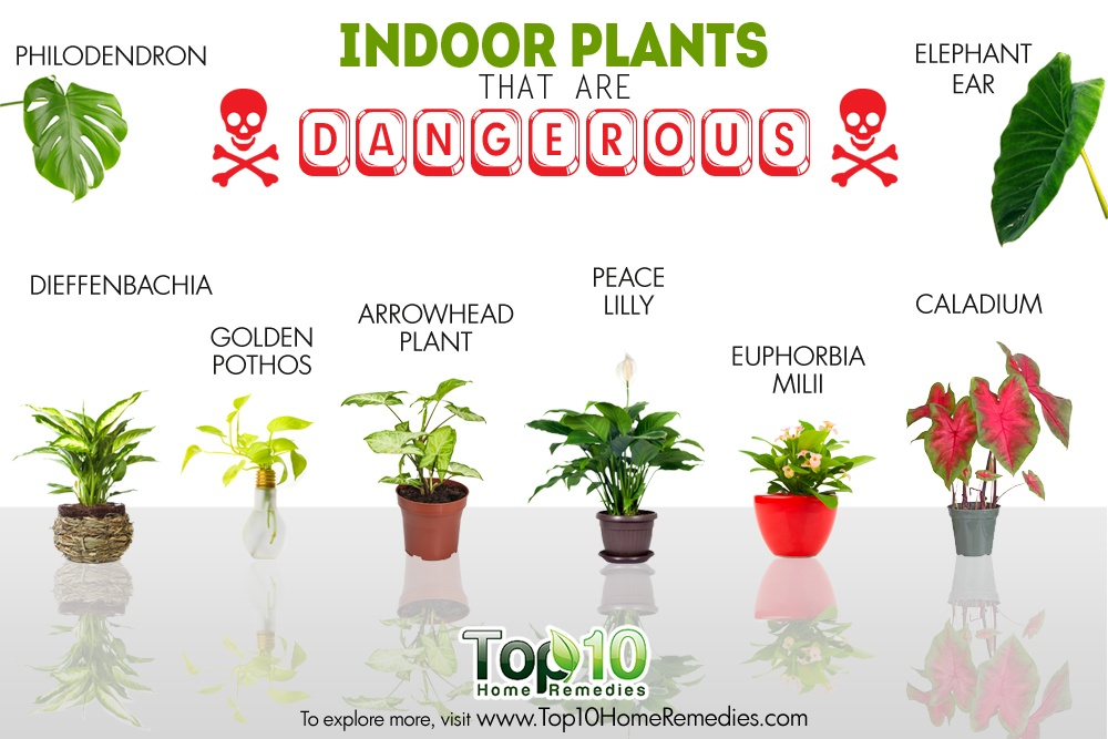 10 indoor plants that are poisonous and dangerous top 10 for Good plants to have indoors