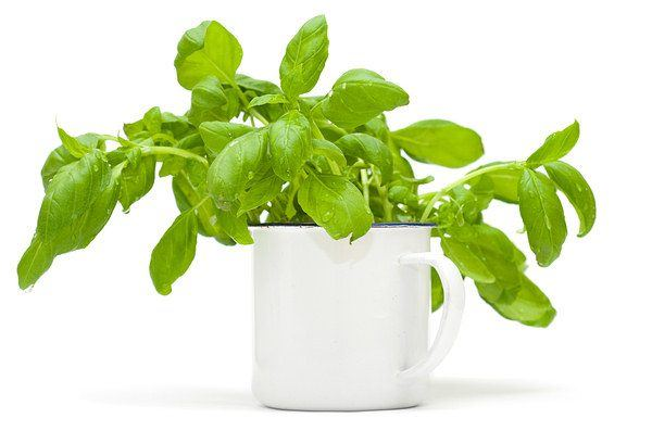 growing sweet basil
