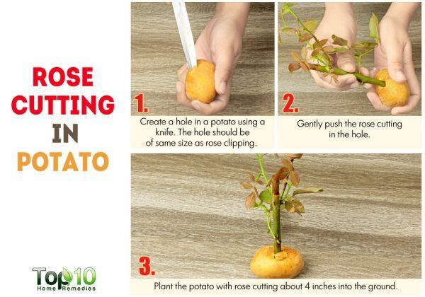 place a rose cutting in potato