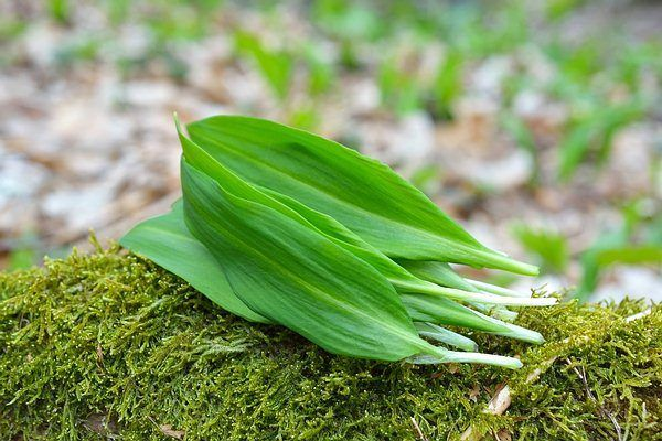 apply crushed wild leeks to protect against mosquitoes