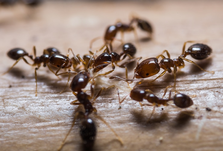Home Remedies For Fire Ant Stings Top 10 Home Remedies