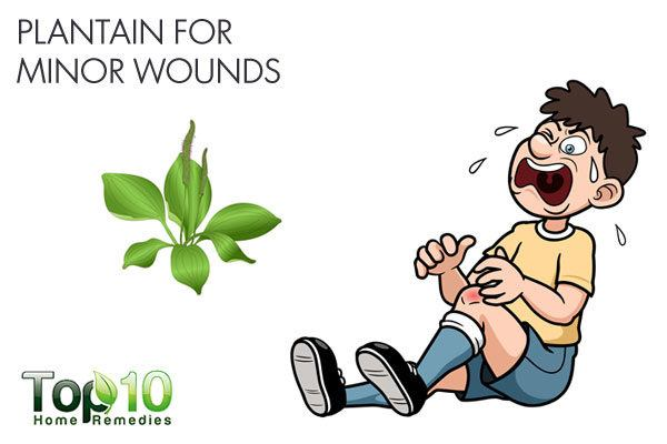 plantain leaves for minor wounds