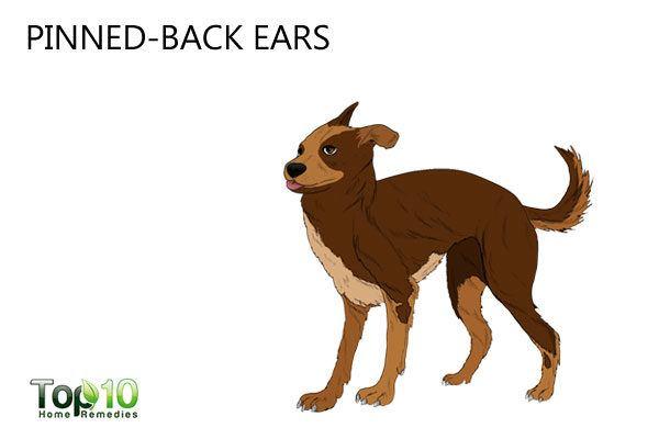 dog stress pinned back ears