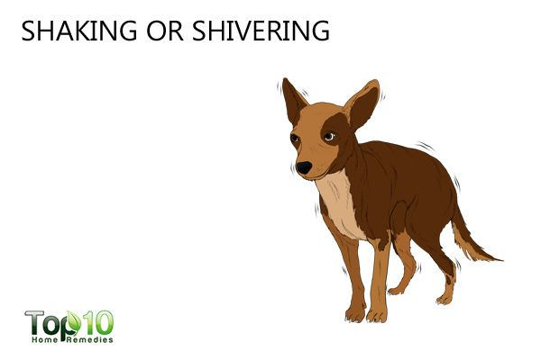 shivering dog due to stress