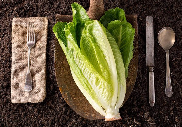 Romaine lettuce low calorie food