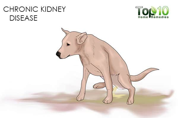 canine kidney disease