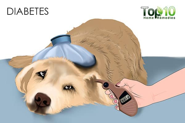 diabetes in aged dogs