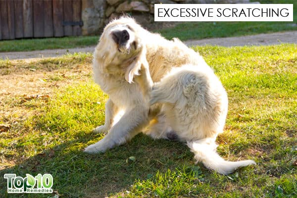 excess scratching in dog seasonal allergy