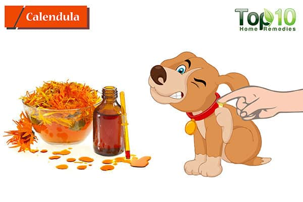 calendula to heal hot spots on dogs