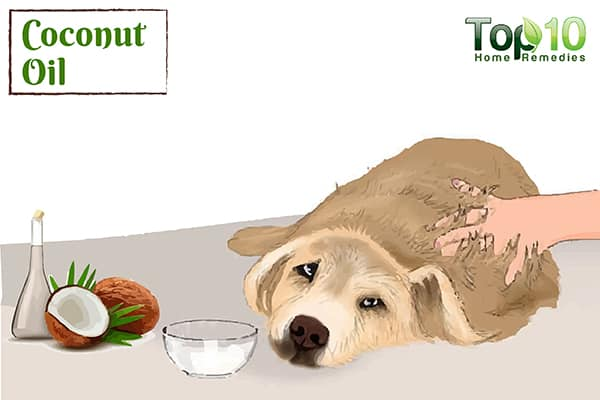 Giving Coconut Oil To Dog Benefits