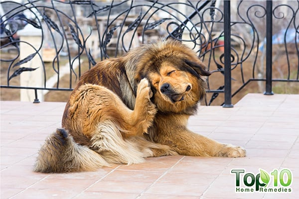 home remedies for allergies in dogs