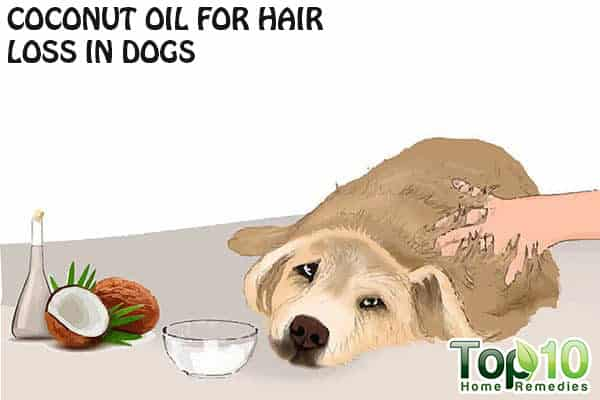 After bathing your dog, leave them in the tub and apply the coconut oil all over their body, massaging it into the coat and on to the skin. Make sure to focus on the problem areas, like the paws and ears. Let the coconut oil sit on your dogs coat, giving it 7 - 10 minutes to absorb into the body.