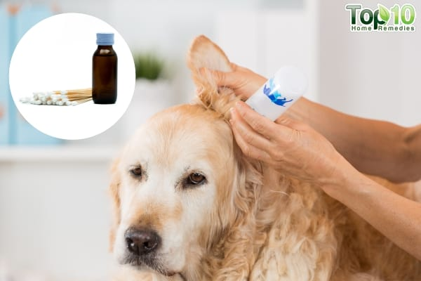 Home Remedies for Ear Mites in Dogs | Top 10 Home Remedies Ear Mites In Golden Retrievers
