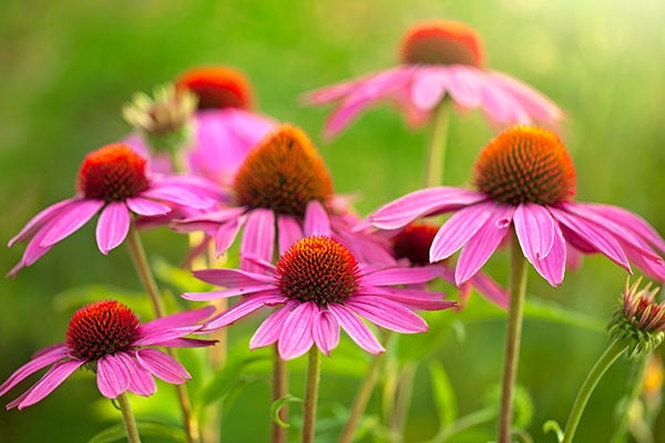 Echinacea to treat enlarged adanoids in children